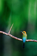 Bee-eater spies its next meal.