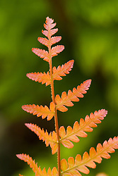 Dryopteris erythrosora showing bronze coloured new spring foliage - Japanese shield fern