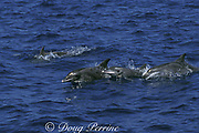 rough-toothed ( roughtooth or roughtoothed ) dolphins, Steno bredanensis, Azores ( Acores ) Islands, Portugal ( North Atlantic Ocean )