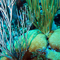 Underwater coral garden, sea rods and hard coral.