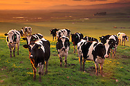 Dairy Cattle at sunrise over the Central Valley, near Tracy, California