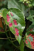 leaf Photographed in Uganda, Kibale National Park