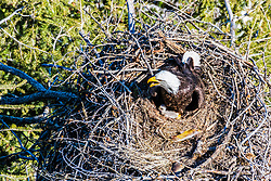 Mother and baby bald eagle. this eaglet is newly hatched. Bald Eagles have had a great comeback from extinction since they ban on DDT.