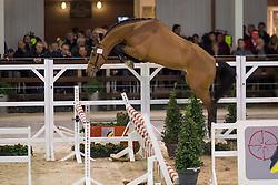 077, Cayenne vd Helle Z<br /> BWP Hengsten keuring Koningshooikt 2015<br /> © Hippo Foto - Dirk Caremans<br /> 21/01/16