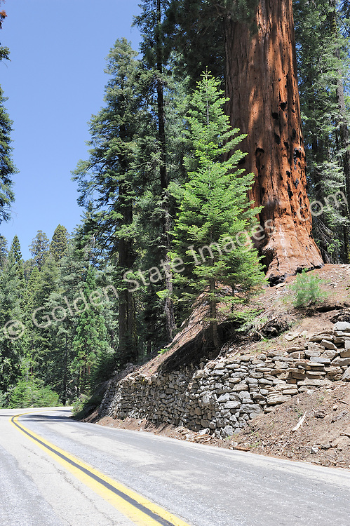 Along the Generals Highway.    <br /> <br /> Species: Sequoiadendron giganteum