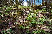 "Wood anemone (Anemone nemorosa) - one of many blooming spring flowers in undergrowth of broadleaved forest on slopes of river Ruņa, nature reserve ""Ruņupes ieleja"" (dabas liegums ""Ruņupes ieleja""), Kurzeme, Latvia Ⓒ Davis Ulands | davisulands.com"