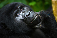 Tracking the Mountain Gorillas of Bwindi Impenetrable Forest in Uganda