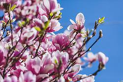 THEMENBILD - die Magnolienbäume mit den unzähligen pink-hellrosa Blüten, sind ein beliebtes Fotomotiv am Makartplatz, mitten in der Salzburger Altstadt, aufgenommen am 31. März 2019 in Salzburg, Oesterreich // the magnolia trees with the countless pink-pink blossoms are a popular photo motif on Makartplatz, in the middle of Salzburg's old town, Austria on 2019/03/31. EXPA Pictures © 2019, PhotoCredit: EXPA/Stefanie Oberhauser