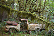 A rusty pickup truck lies abandoned beneath moss covered trees in the Quinault Rainforest, Olympic National Park, Washington.