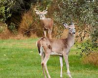 Two Deer. Image taken with a Nikon 1 V3 camera and 70-300 mm VR lens.