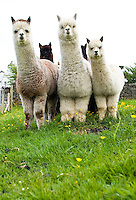 alpaca on a cumbrian farm