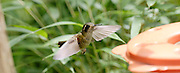 Ecuador, May 23 2010: Speckled Hummingbird (Adelomyia m. melanogenys). Images from Cabanas San Isidro...Copyright 2010 Peter Horrell