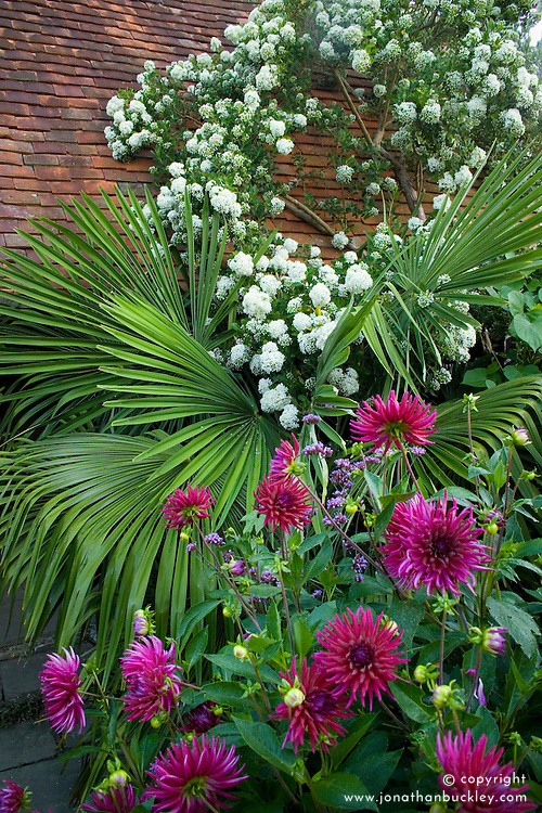 Escallonia bifida syn. E. montevidensis growing against the roof of the hovel in the Exotic Garden at Great Dixter with Trachycarpus fortunei and Dahlia 'Hillcrest Royal' in the foreground. Chusan Palm.