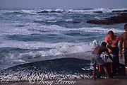 fishermen scoop sardines, Sardinops sagax, from beach seine nets near Durban, during annual Sardine Run on east coast of South Africa