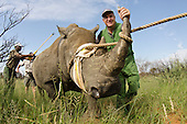 White Rhino Capture & Poaching