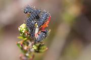 1st instar emperor moth caterpillars (Saturnia pavonia) on heather. Dorset, UK.