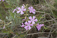 Showy phlox is one of the prettiest and widespread of the native phloxes and can be found from the American Southwest north to British Columbia, and is most often found in rocky sagebrush deserts, open grasslands, dry pine forests, and some mountain forests with lots of available sunlight. Distinctive to this species are the deeply notched pink petals. This one was found growing in Cowiche Canyon, just east of Yakima, Washington.