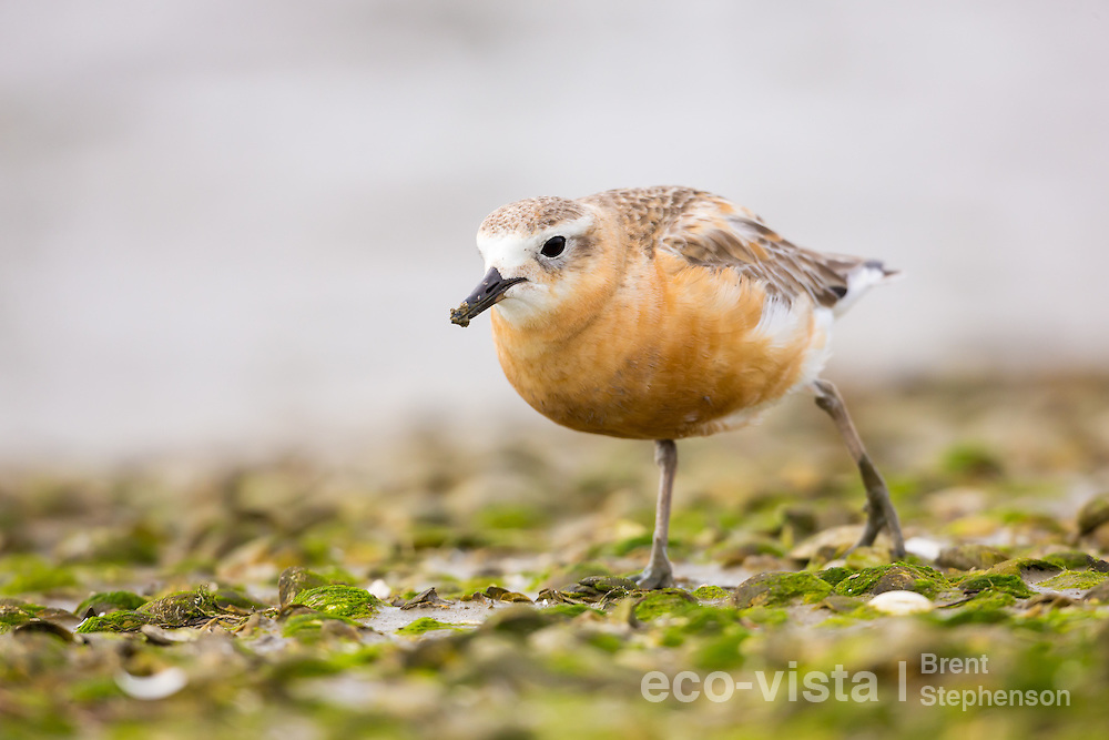 A breeding plumage male New Zealand dotterel or red-breasted plover (Charadrius obscurus) feeds at low tide on an exposed shellbank. Clarks Beach, Manukau Harbour, Auckland, New Zealand. September. Near threatened.