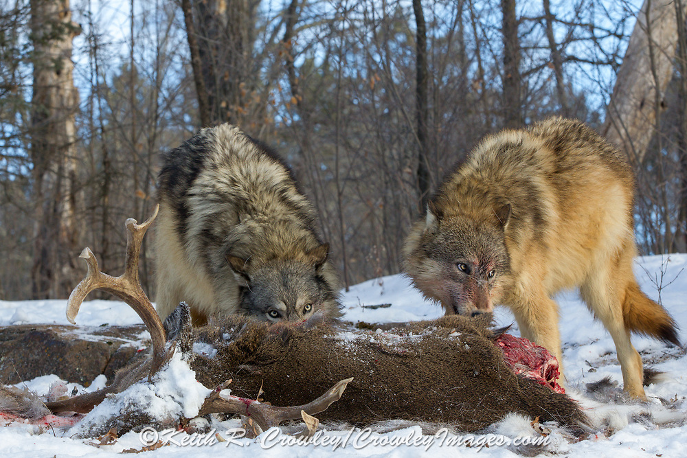 Two gray wolves feed on a buck deer carcass in wooded winter habitat. Captive pack.