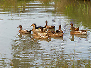 Ducks in a pond. Photographed in New Zealand South Island in March