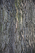 Texture of bark of a large and very old tree in London, England, United Kingdom.
