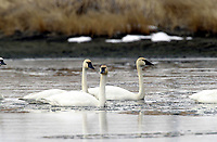 Tundra Swan (Cygnus columbianus) swimming in Slough, near Calgary Alberta, Canada   Photo: Peter Llewellyn