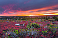 The sky opens fiery lines across the sky mirroring the red autumn plains of wild blueberry bushes dotted with azalea and flagged pine over the Dolly Sods Wilderness Area at sunset in West Virginia.