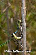 06361-006.17 Common Green Darners (Anax junius) male & female in copulation wheel, Prairie Ridge SNA Marion Co.  IL