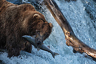 Bear 775, Lefty, with a salmon he just caught at Brooks Falls in Katmai National Park, Alaska