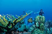 Spot, a wild, lone, sociable bottlenose dolphin, Tursiops truncatus, and pal Jason Belport explore the reef, Cayman Brac, Cayman Islands ( Caribbean Sea ) MR 281