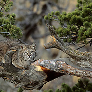 Bobcat (Lynx rufus) adult in the Rocky Mountians.  Captive Animal.