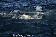 copper shark or bronze whaler ( Carcharhinus brachyurus ) lunges through bait ball of sardines or pilchards, Sardinops sagax, filling its mouth during annual Sardine Run off the Wild Coast ( Transkei ) of South Africa at Mboyti ( Indian Ocean )