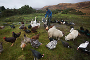 "Sarah Leggitt feeds her free range livestock on her land and near the Lochbuie estate cottage, a former Smithy with livestock near the coast at Lochbuie, Isle of Mull, Scotland. She and her husband moved from southern England 6 years ago to work for the Lochbuie Estate and the old Smithy is provided to them as living accommodation. Lochbuie is a settlement on the island of Mull in Scotland about 22 kilometres (14 mi) west of Craignure. The name is from the Scottish Gaelic Locha Buidhe, meaning ""yellow loch"". http://lochbuie.com/Lochbuie"