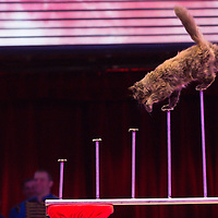 Animal trainer Eva Chris of Germany performs with her cat in the new show titled Balance in Circus Budapest in Budapest, Hungary on October 04, 2015. ATTILA VOLGYI