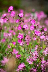 Red campion - Silene dioica syn. Melandrium rubrum - growing with Ragged robin - Lychnis flos-cuculi - in a wildflower turf meadow