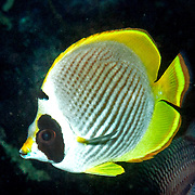 Panda Butterflyfish inhabit reefs. Picture taken Islands north of Alor, Indonesia.