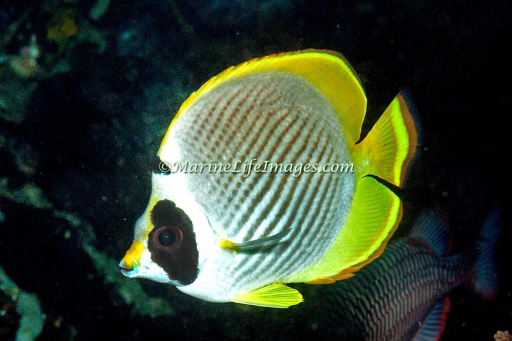 Panda Butterflyfish inhabit reefs. Picture taken Islands north of Alor, Indonesia.