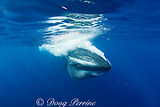 Bryde's whale, Balaenoptera brydei or Balaenoptera edeni, expels air and water from mouth through baleen plates after engulfing part of a baitball of sardines, Sardinops sagax, off Baja California, Mexico ( Eastern Pacific Ocean ), #5 in sequence of 6 images