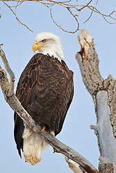 Bald Eagle, Gread Teton National Park