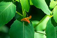 Balsaminaceae (Balsam Family)