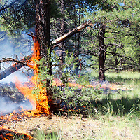 A lightning-caused fire which began two weeks ago has burned 150 acres in the Mount Taylor Ranger District of Cibola National Forest. The Triple Nickel Fire, as it has been dubbed, is being monitored and managed to promote forest health. Smoke likely will be visible from New Mexico Highway 550 and Interstate Highway 40 east and northeast of Grants. Depending on the weather, the managed fire could grow to approximately 2,500 acres, District Ranger Alvin Whitehair said.
