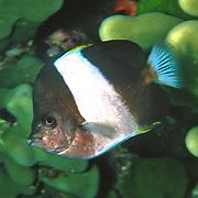 Black Pyramid Butterflyfish inhabit reefs. Picture taken Andaman Sea, Myanmar.