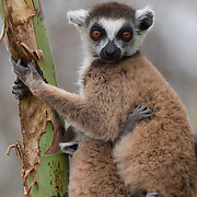 Ring-tailed lemur mother with a young baby. Berenty Reserve, Madagascar