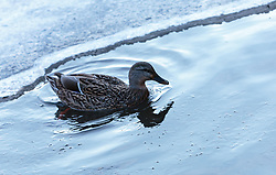 THEMENBILD - eine weibliche Stockente im Wasser, aufgenommen am 28. Februar 2018, Zell am See, Österreich // a female mallard in the water on 2018/02/28, Zell am See, Austria. EXPA Pictures © 2018, PhotoCredit: EXPA/ Stefanie Oberhauser
