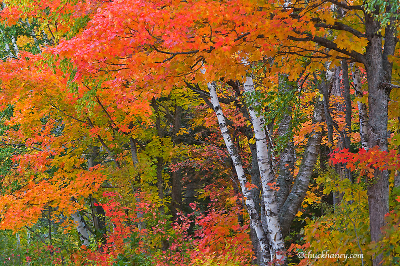 Colorful maple trees turn red in autumn in the Keweenaw Penninsula of the UP of Michigan