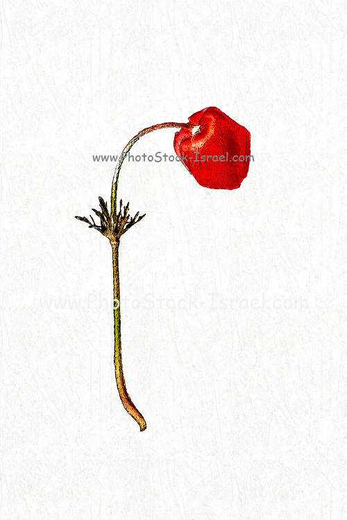 Digitally enhanced image of a Hand drawn and painted botanic study of Crown Anemone (Anemone coronaria) Israeli wildflower on white background