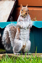 A Grey Squirrel (Scientific name Sciurus Carolinensison) forrages for food during a brief visit to a small Sheffield suburban garden.<br /> <br /> www.pauldaviddrabble.co.uk<br /> All Images Copyright Paul David Drabble -<br /> All rights Reserved -<br /> Moral Rights Asserted -