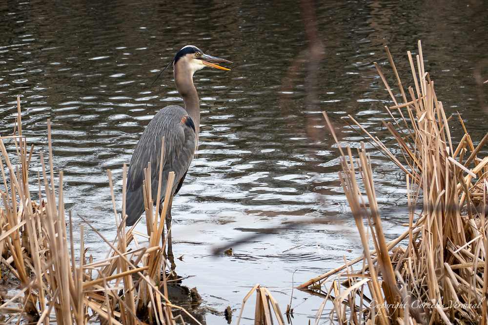 A Great Blue Heron waiting for a meal to swim by at The Harlem Meer in Central Park