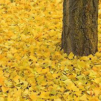 """""""Ginkgo Bliss""""<br /> <br /> All the autumn splendor of the wonderful Ginkgo Biloba! Beautiful golden yellow leaves carpet the ground surrounding its trunk!!<br /> <br /> Fall Foliage by Rachel Cohen"""