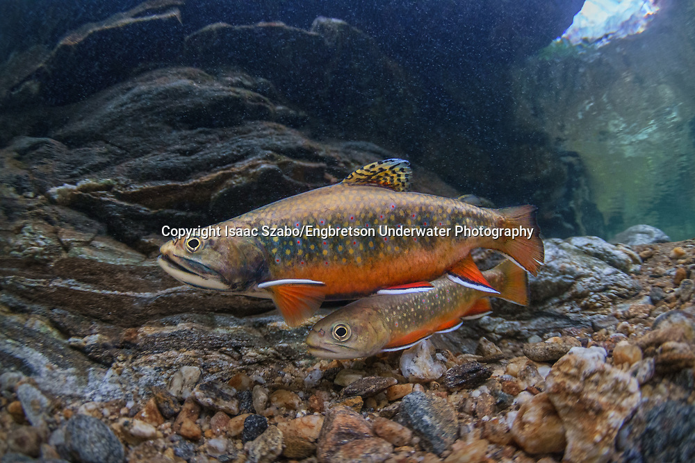 Brook Trout<br /> <br /> Isaac Szabo/Engbretson Underwater Photography